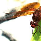 ruby meadowhawk by Nicole M. Spaulding