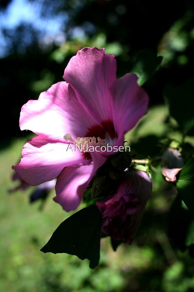 Summer flower by ANJacobsen