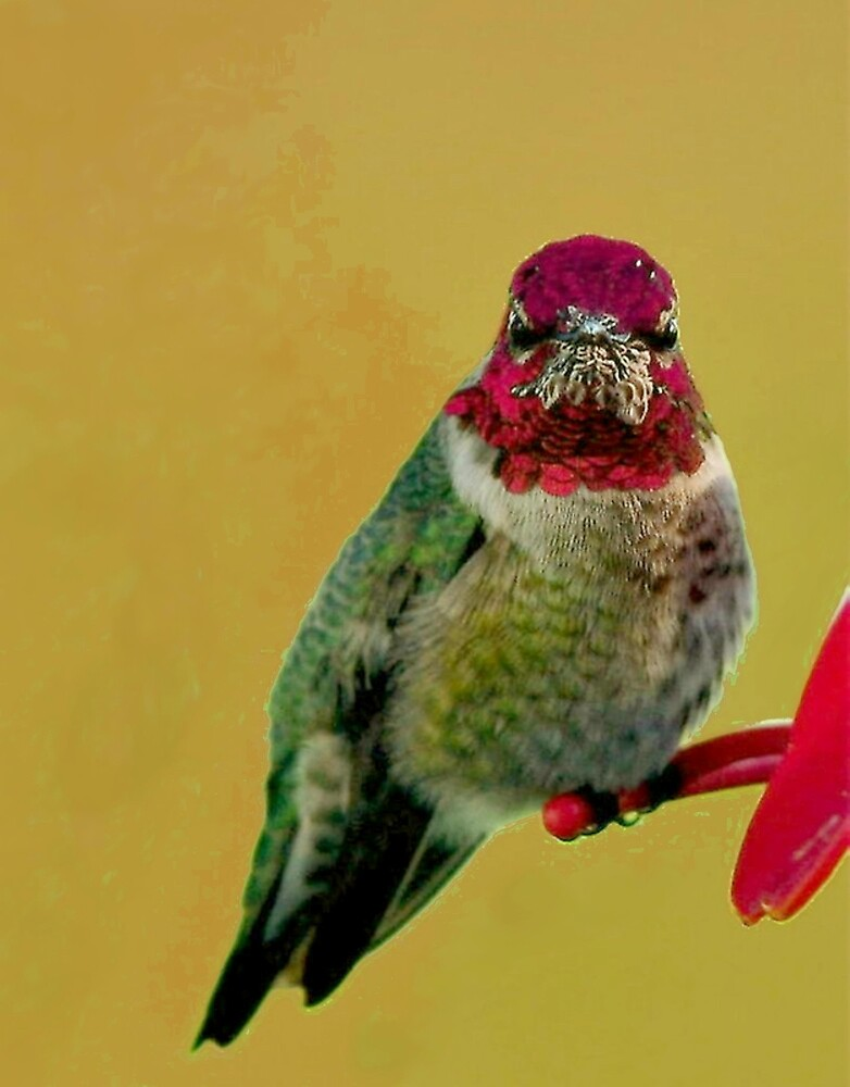 "ANNA""S HUMMINGBIRD by RoseMarie747"