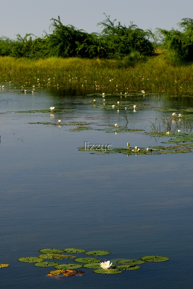 water lilies by lizzyc