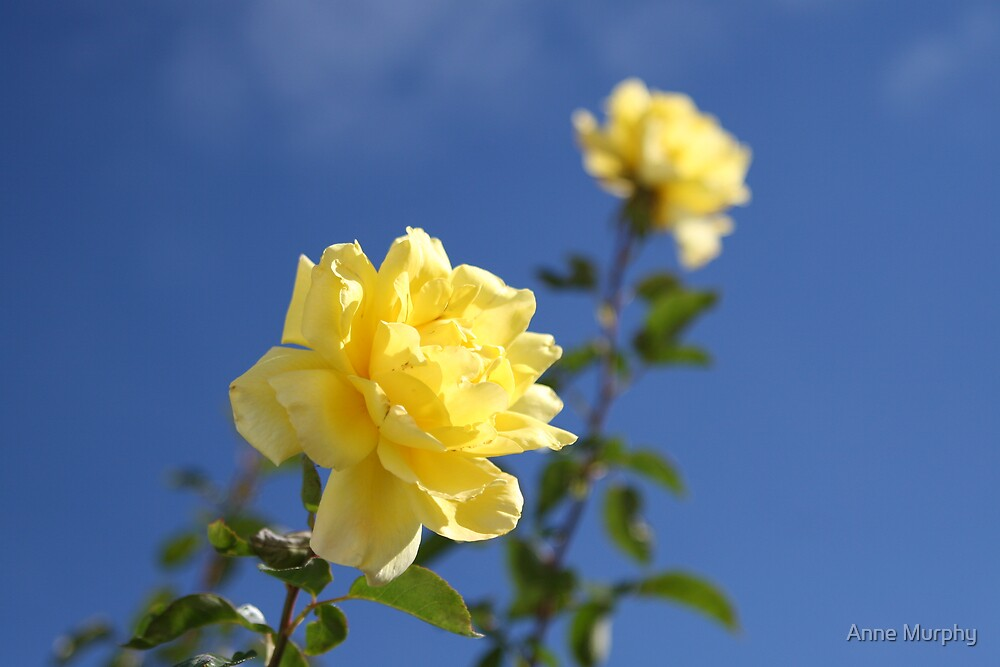 Yellow roses by Anne Murphy
