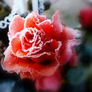 Frosted rose. by Livvy Young