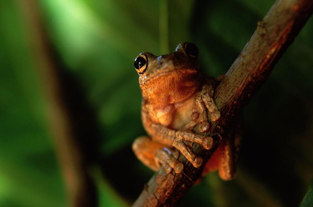 Tree Frog 1 by John Brumfield