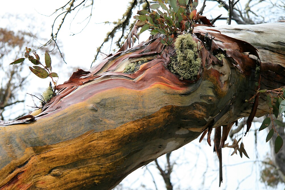 snowgum elbow by jayview