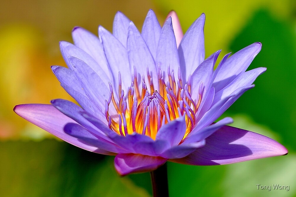 Water Lily and Colors by Tony Wong