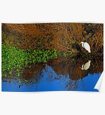 wetlands egret reflected Poster