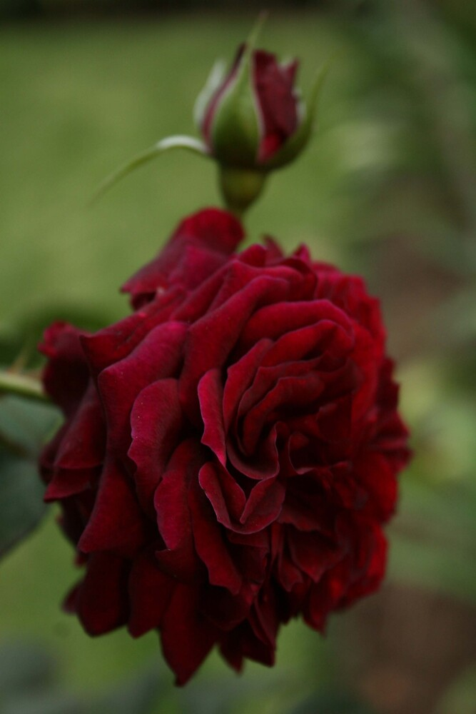 Deep red rose by Sheridan Erinn Impey