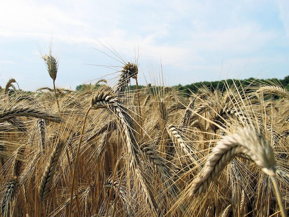 Barley by lisofthenorth