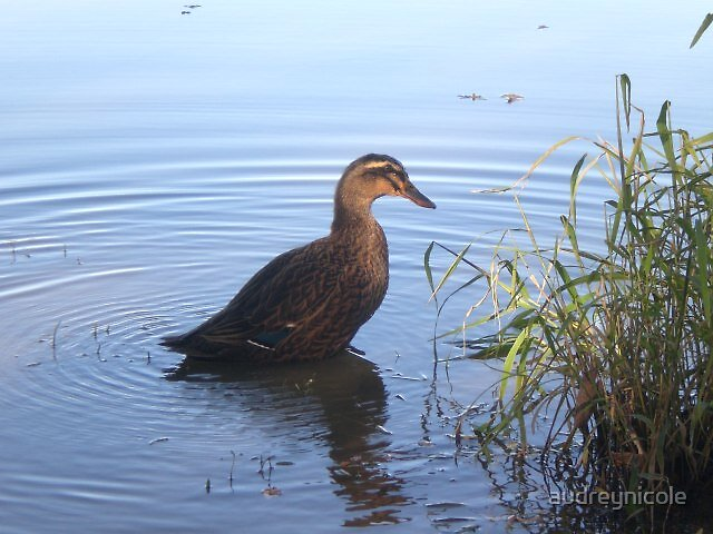 Ducky by audreynicole
