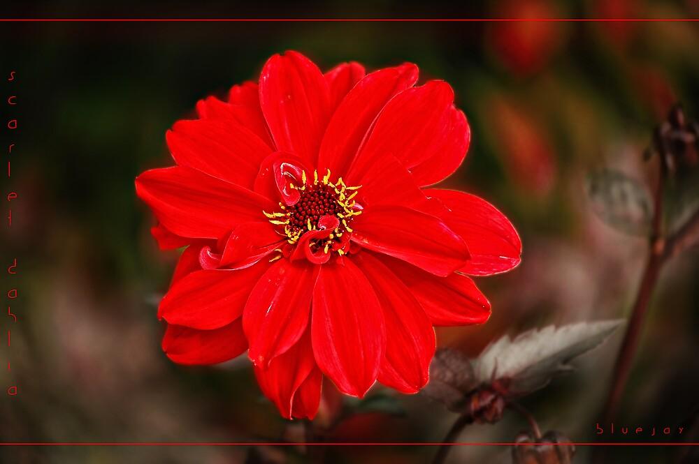 scarlet dahlia by bluejay