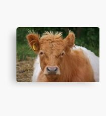 Belted Galloway Canvas Print