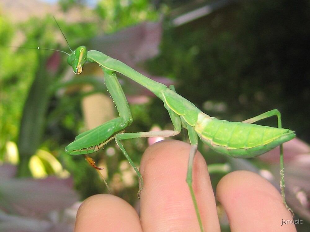 Close up of a mantid by jsmusic