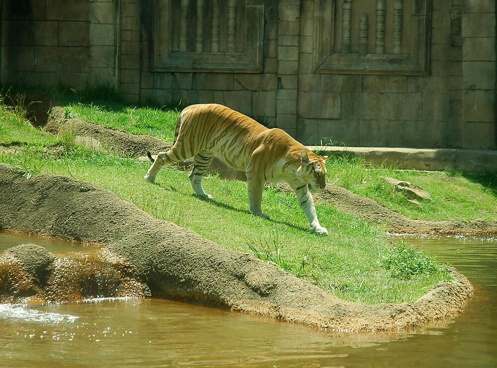 Tiger by memphisto