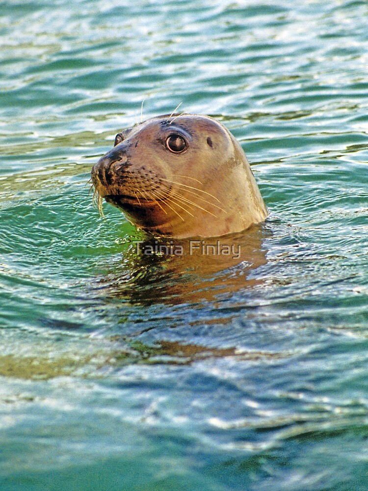 Cheeky Seal by Tainia Finlay