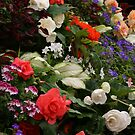 Begonia's by Debra LINKEVICS