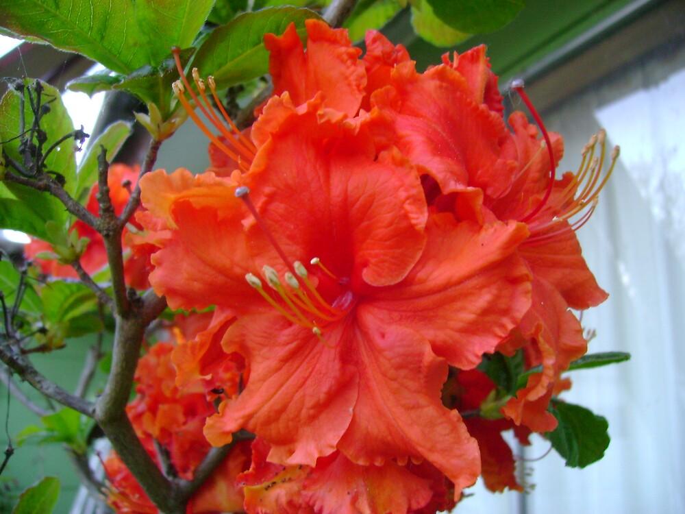 Orange Beauty by Sheri Scherbarth