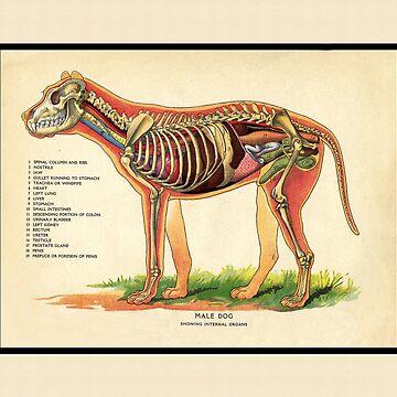 Vintage Veterinary School Dog Anatomy Chart by CafePretzel