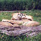 Lions embrace by evapod