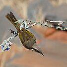 Acrobatic Singing Honeyeater  by Graeme  Hyde