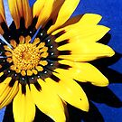 Yellow flower with blue background by evapod