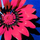 Pink flower with blue background by evapod