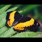 Butterfly by evapod