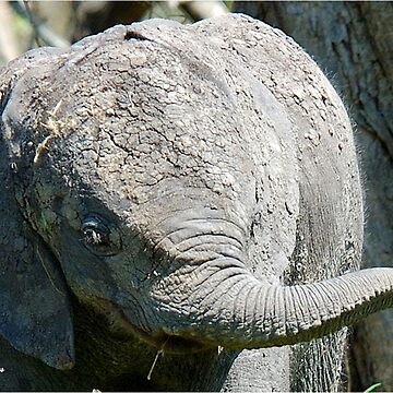 AFTER A MUD BATH, THE BABY ELEPHANT  - THE AFRICAN ELEPHANT – Loxodonta Africana by mags