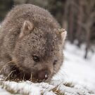 Wombat by Glenda Williams