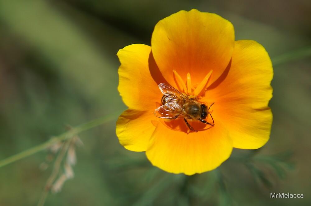 Honey Bee working  by MrMelacca