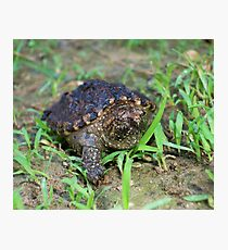 Alligator Snapping Turtle Hatchling  Photographic Print