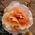 Rose by Trevor Needham