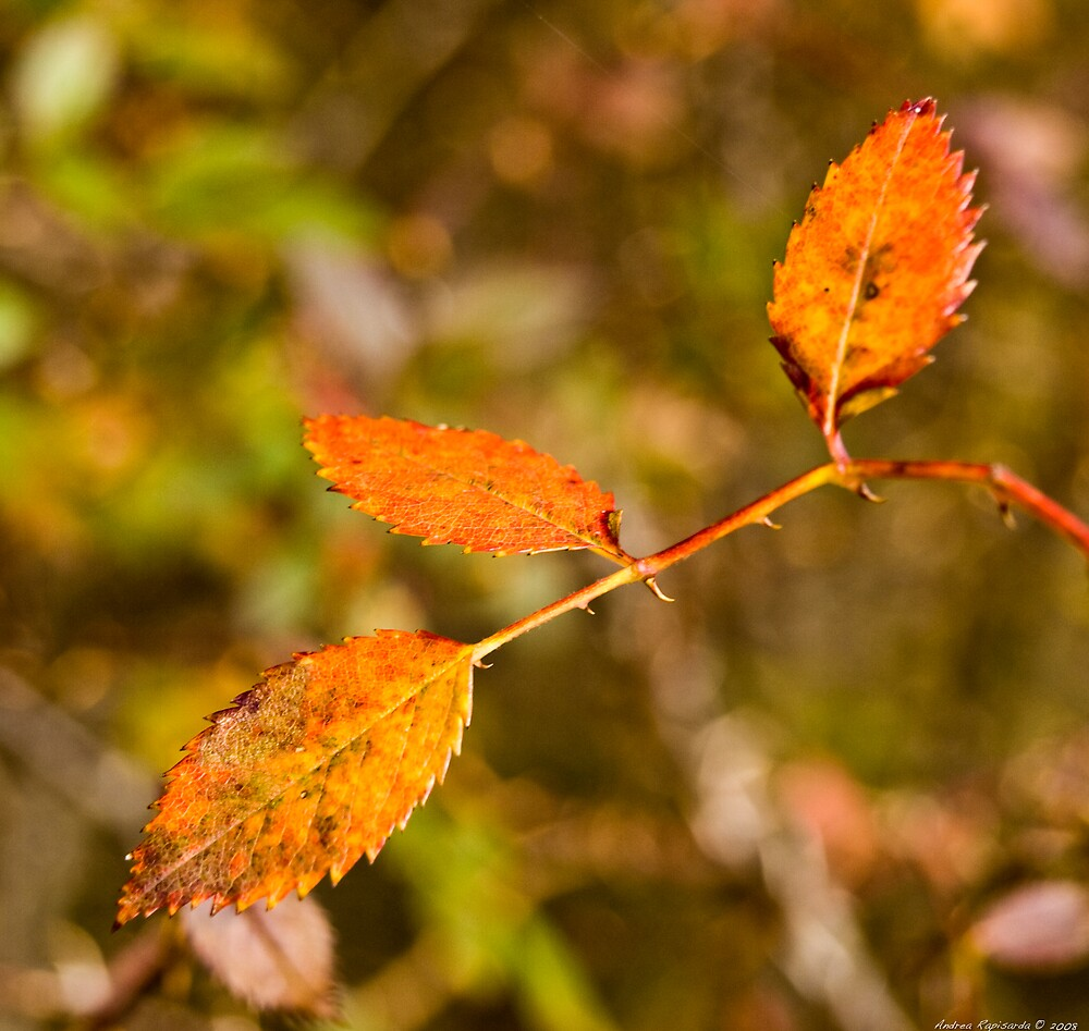 autumn leaves  by Andrea Rapisarda