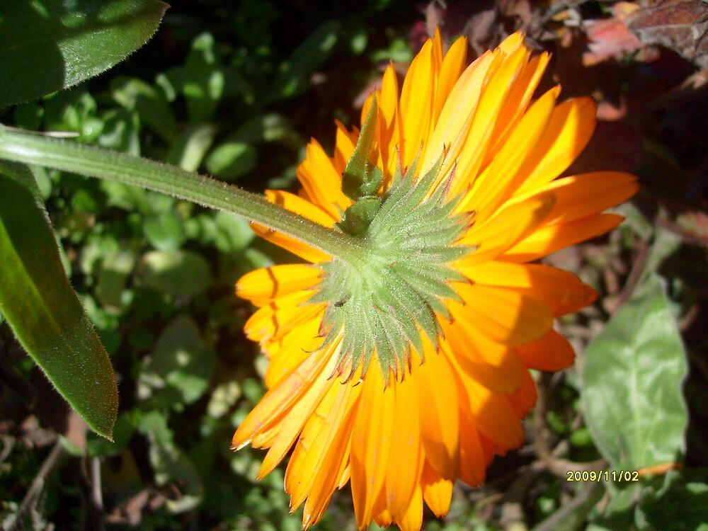 Yellow marigold by Ana Belaj