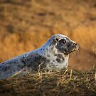 Seal pup at sunset by Kerto Elvin