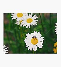 Daisy Print Photographic Print