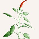 Little Hot Chili Pepper Plant by Boriana Giormova