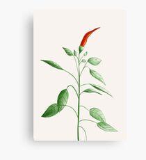 Little Hot Chili Pepper Plant Canvas Print