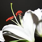 Lily Profile by Terri~Lynn Bealle