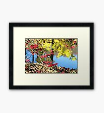 Red berries of mountain ash sun illuminates Framed Print