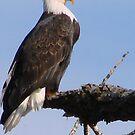 Bald Eagle by tkrosevear