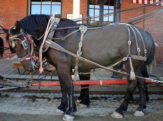 French Percheron Horses Take the Lead by Polly Peacock