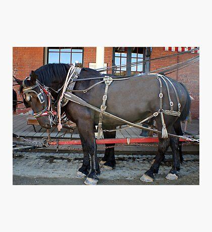 French Percheron Horses Take the Lead Photographic Print