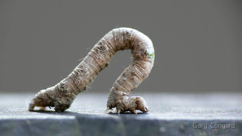 Inchworm by Gary  Conyard