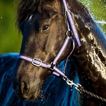 Alchy - The Friesian by FastTrackPhotog