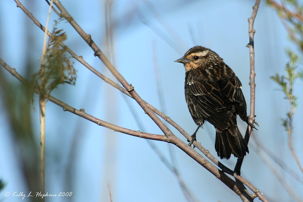 female redwing blackbird by Kelly Hopkins