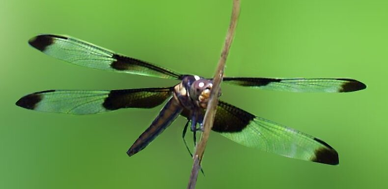 Dragon Fly by sharont