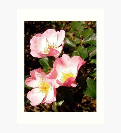 Governor General's roses 12 Art Print