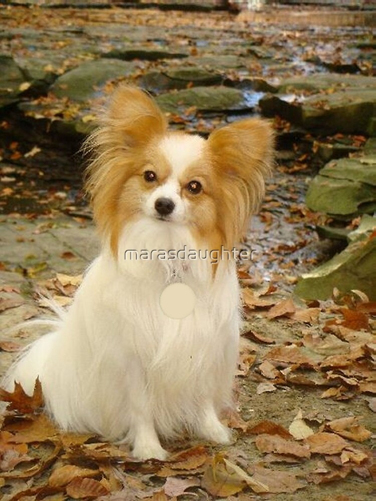 papillon sitting by marasdaughter