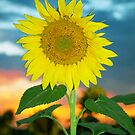 Sunflower at Sunset by Jerry Walter