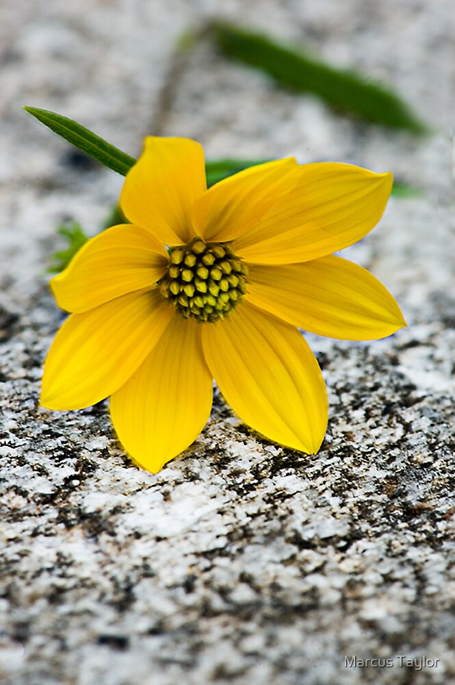 Confederate Daisy on Granite by Marcus Taylor